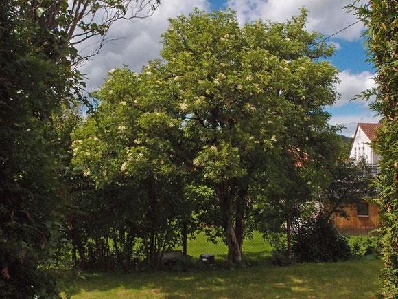 Holunderbaum in einem alten Garten in Sonnenbühl