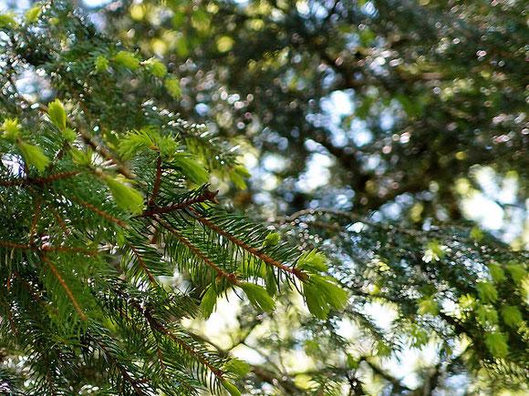 junge Triebe einer Fichte im Bolbergwald in Sonnenbühl Schwäbische Alb