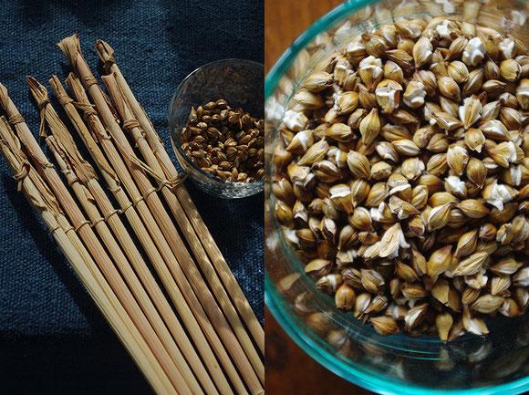 左)大麦の棹。これが本来の「ストロー」です 右)炭火で煎った大麦