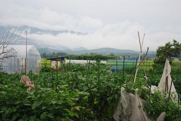 五頭山望む、祖母の庭。ナス、トマト、キュウリ、カボチャ、枝豆、スイカ、キウイなどなど、育てる作物は多種多様。まさに百姓の佇まい