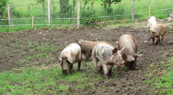 Steinbacher WohlFühlSchweine | www.wohlfuehlschweine.at