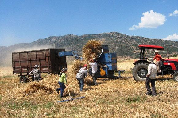 Kasabamızda Arpa ve Buğday ın hasat zamanı başladı.  13.07.2011