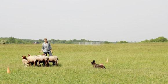 13 mai 2016 Bobbie reussite pour son brevet de FCI Herding Working Test Traditional Style.