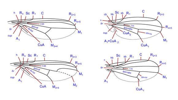 翅脈。アシナガバエ科(左上)、アシナガバエ科ホソアシナガバエ亜科(左下)、ミギワバエ科(右上)、ショウジョウバエ科(右下)