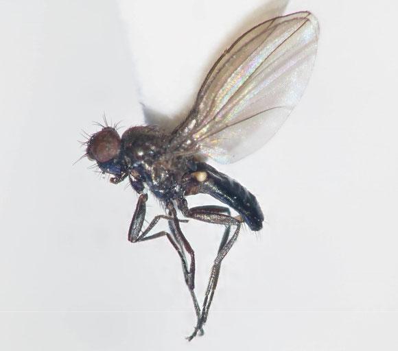 Carnidae