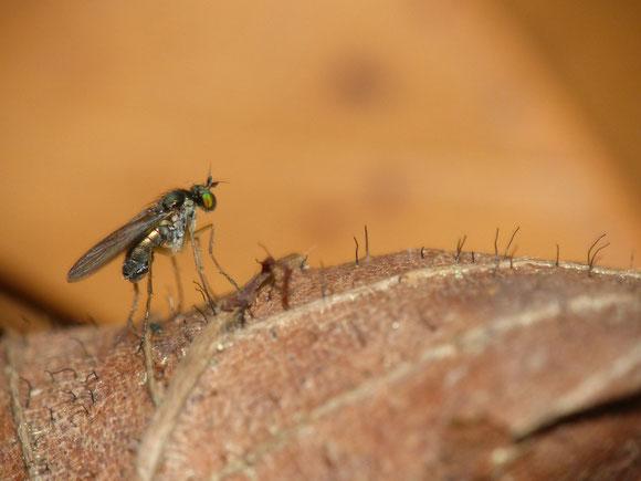 アマネアシナガバエ属 Gymnopternus sp. ♂ (アシナガバエ科) 湿った土の上などで極めて普通に見られる。にもかかわらず、同科の中でも分類学的に整理が進んでいない属。兵庫県。