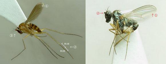 図6 左:キイロアシナガバエ亜科、右:キマモリアシナガバエ亜科