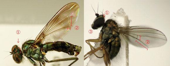 図7 左:Hydrophorinae 亜科、右:Diaphorinae 亜科