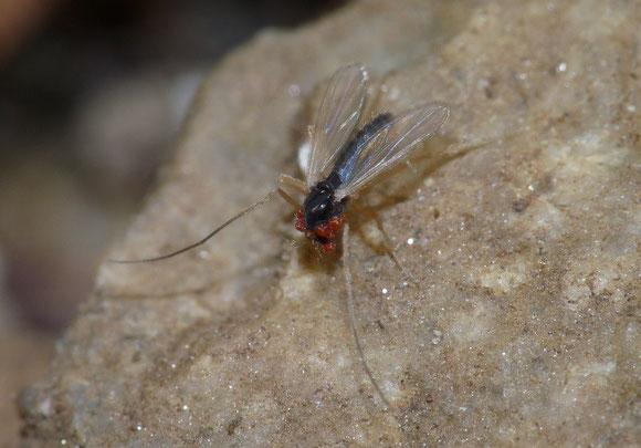 ダニに寄生されたユスリカ科(Chironomidae)。細かい部分の描写力は一眼や本格的なマクロレンズには及ばないが、翅縁の細かい毛も映り、実用に耐えるレベル。