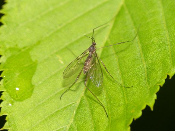 ユミアシヒメフタマタアミカ Philorus viridis ♀ (アミカ科) 渓流で見られる科。翅には多くの皺が網目状に入る。熊本県。