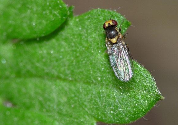 ハモグリバエ科(Agromyzidae)。この写真はディフューザーをつけていなかったため、翅に光が反射しすぎている。