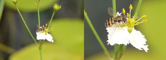 ハナアブ科(Syrphidae)。これはクローズアップレンズNo.4を使用。低倍率のものからトリミングしているため色収差は少なめだが、もっと倍率を上げて撮影すると一気に目立つ。