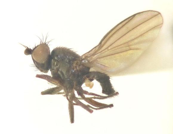 Acartophthalmus nigrinus ナミクチキバエモドキ