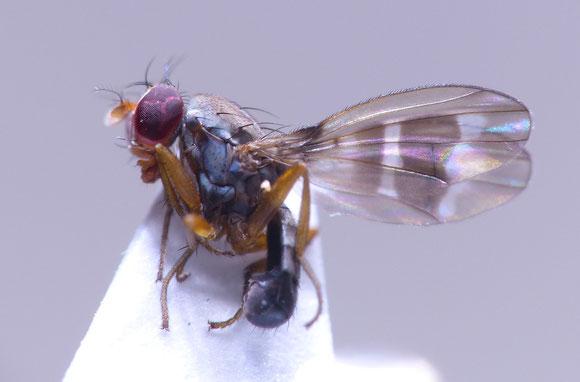 モンホソショウジョウバエ Diastata ussurica (ホソショウジョウバエ科) 日本で3種ほどしか記録のない科。名前の通りショウジョウバエ科に近縁。熊本県。