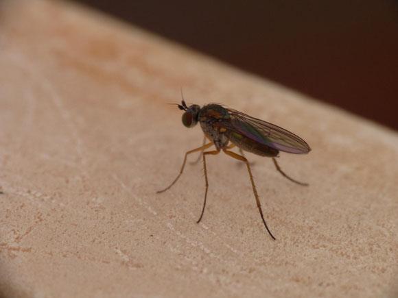 クボヒゲアシナガバエ属 Syntormon sp. ♀ (アシナガバエ科) 素早い種が多い本科の中ではおとなしいため、人家近くでも見られる。兵庫県。