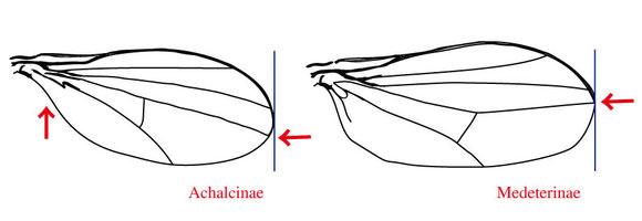 図5 左:Achalcinae、右:Medeterinae