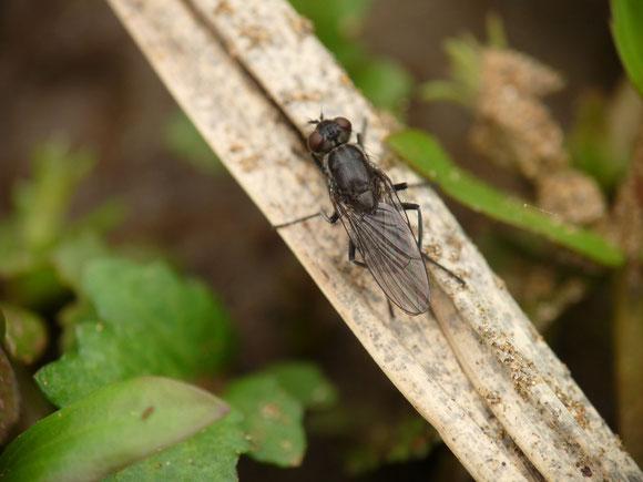 カトリバエの1種 Lispe sp. (イエバエ科) 湖畔など水辺に生息するイエバエの1種。本科では他にミズギワイエバエ属 Limnophora が水生の属として知られる。福島県。