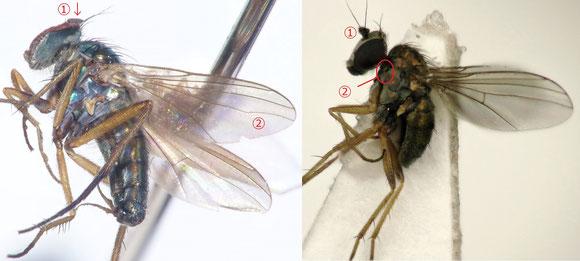 図9 左:Rhaphiinae亜科、右:Diaphorinae亜科