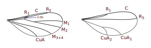 Lestremiini 族 (左)、Cecidomyiinae 亜科 (右)の翅脈