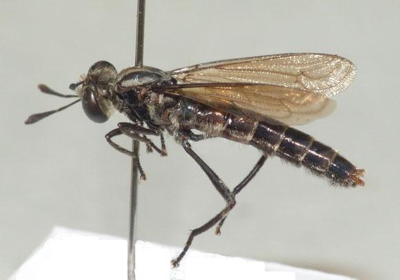 ムシヒキアブモドキ Nemomydas gruenbergi (Hermann, 1914) ♂