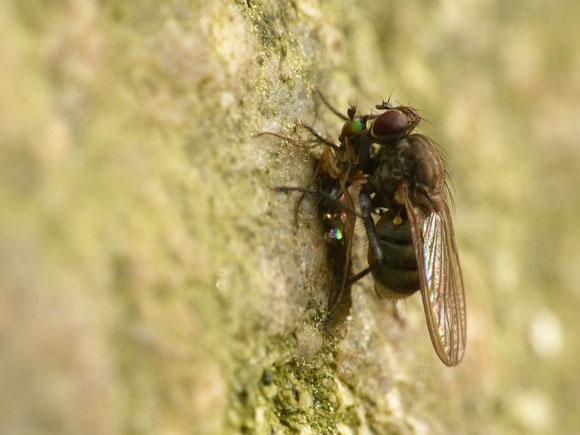 イエバエ科 Muscidae の1種に捕食される Gymnopternus sp. (アシナガバエ科) 時にはより小さい双翅目を捕食することもある肉食性のアシナガバエも、より大きな肉食性双翅目の餌食になることもある。双翅目内での食物連鎖。兵庫県。