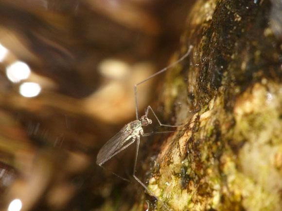 ケミャクシブキバエ属 Trichoclinocera sp. (オドリバエ科シブキバエ亜科) 渓流などで水しぶきがかかる岩場などで見られる。兵庫県。