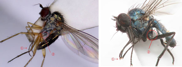 図8 左:Sympycninae亜科、右:Diaphorinae 亜科