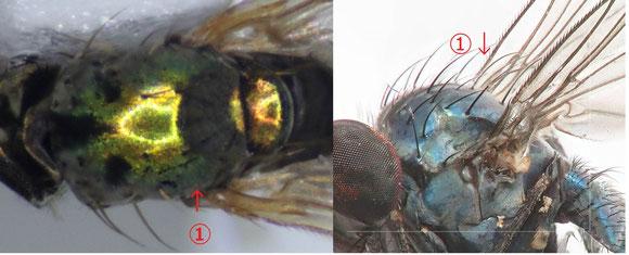図3 左:Peleropeodinae 亜科、右:Diaphorinae亜科