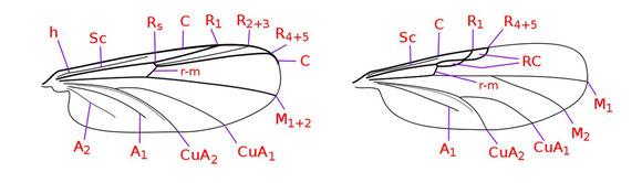 ユスリカ科(左)、ヌカカ科(右)の翅脈例