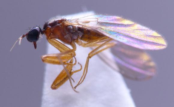 ニセカマオドリバエ属 Chelipoda sp. (オドリバエ科) 前脚が鎌状に発達するオドリバエ。本科は水辺や湿地に生息する種が多いが、本属は森林など水辺に関係ない所に生息する。熊本県。