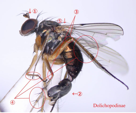 図2 アシナガバエ亜科