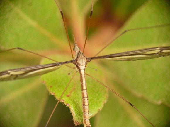 マドガガンボ Tipula nova (ガガンボ科)。体長が大きい場合、マクロレンズをつけていると拡大されすぎて全体が入らないこともある。また低倍率で撮ると、画像の四隅が黒くなる(ケラレ)。
