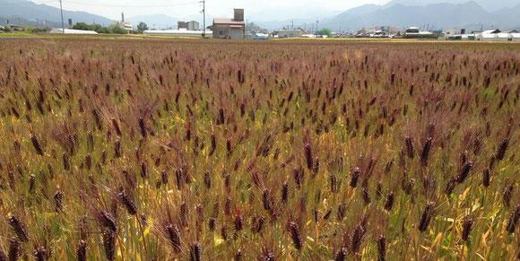 愛媛県東温市の幻もち麦(平成25年産)