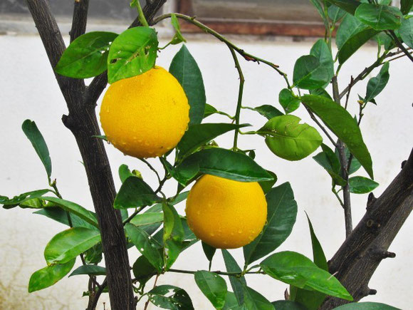 Lemons looking better than ever after a nights storm