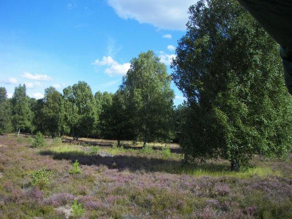 Erikakrautblüte in der Kyritz Ruppiner Heide