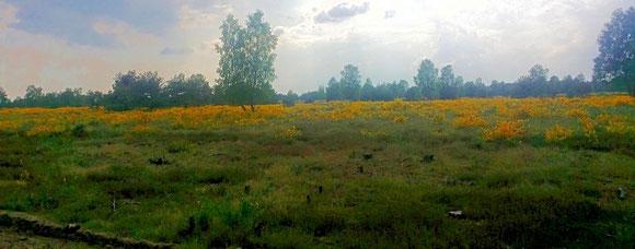 Ginsterblüte in der Kyritz-Ruppiner-Heide