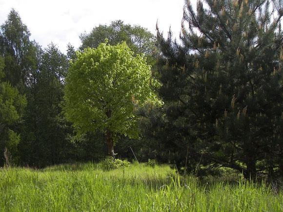 Trockenwiese mit Linde