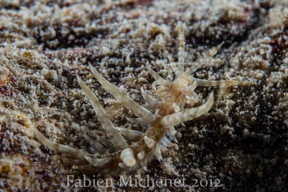 Baeolidia fusiformis