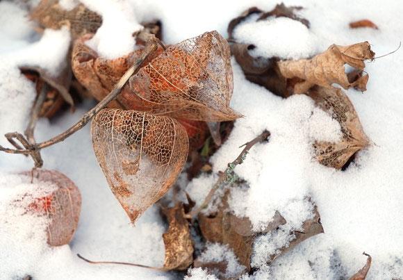 "Lampionblume zum Thema ""Winter"" Foto: Hartmut Kullmann"