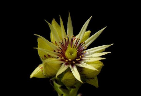 Blüte von Sempervivum grandiflorum aus den Alpen, Foto: Manuel Werner, alle Rechte vorbehalten!