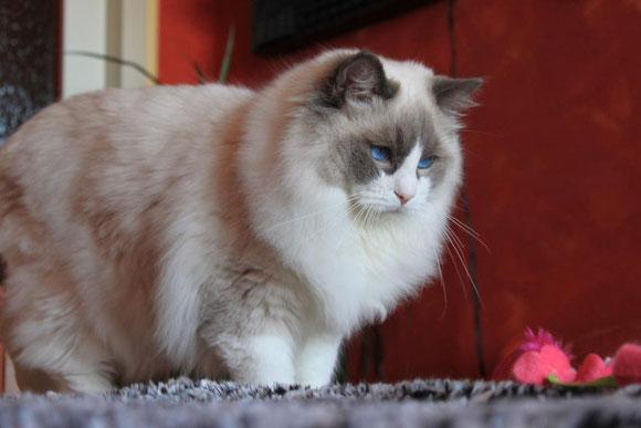 Durchfall Bei Katzen Ragdoll Zucht