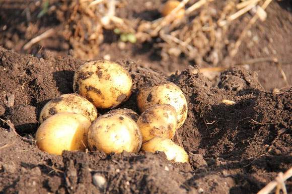 das Schmankerl - die Mooskartoffel