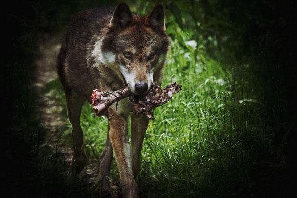 Wolf _ Wölfe im Traum