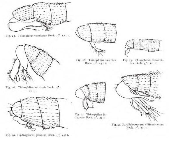 Becker Th. 1922. Dipterologische Studien. Dolichopodidae der Indo-Australischen Region. Capita Zoologica 1(4): 1–247 より