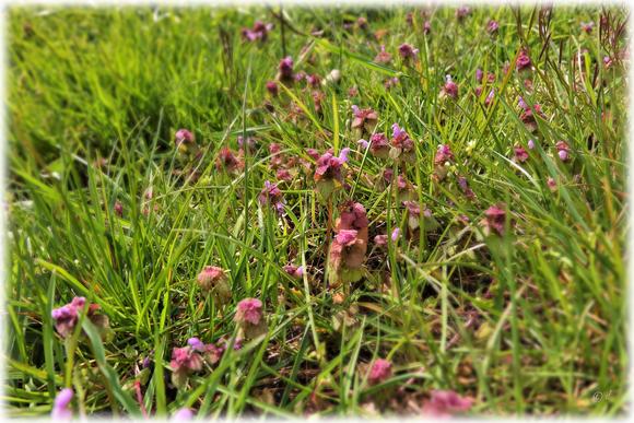 Eine Anhäufung mehrerer Taubnesselpflanzen