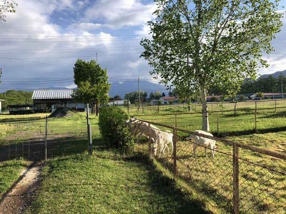 長野牧場のヤギ、小突き合いながら生垣を試食中。