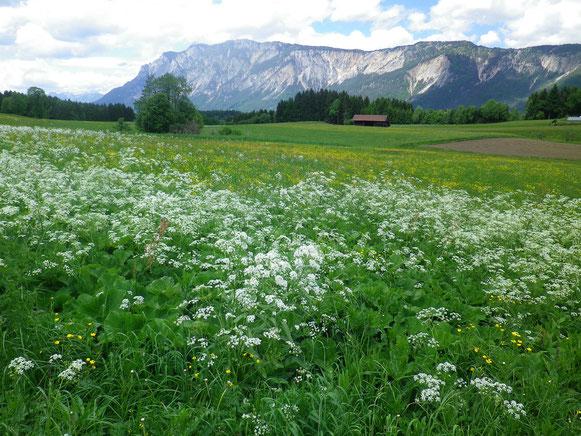 Wunderschöne Maiwiesen und das herrliche Panorama vom Dopratsch haben wir auf dem Weg in Richtung Arnoldstein.Kaum zu glauben,das in den nächsten Tagen Schlechtwetter angesagt ist