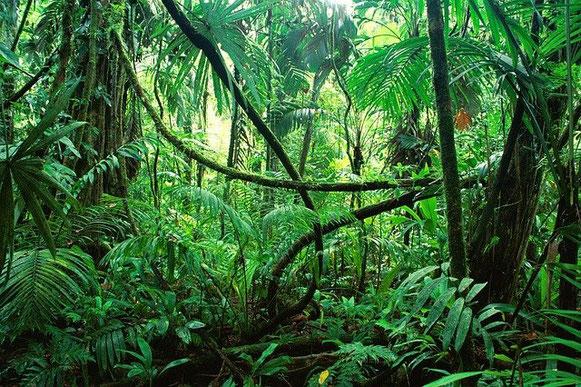 Jungle, forêt vierge, avec de grands arbres verts et des lianes entremêlées