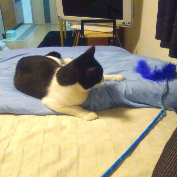 ジョニーくん 猫 ねこ ネコ にゃんこ おもちゃ遊び 1歳男子 ペットシッター キャットシッター 大田区 川崎市