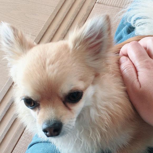 チワワ 室内遊び お留守番 ペットシッター ドッグシッター わんこ ワンコ 犬 イヌ いぬ 大田区 川崎